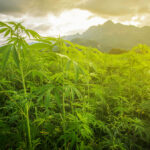 Origin of Cannabis and Spreading It Across the Continents