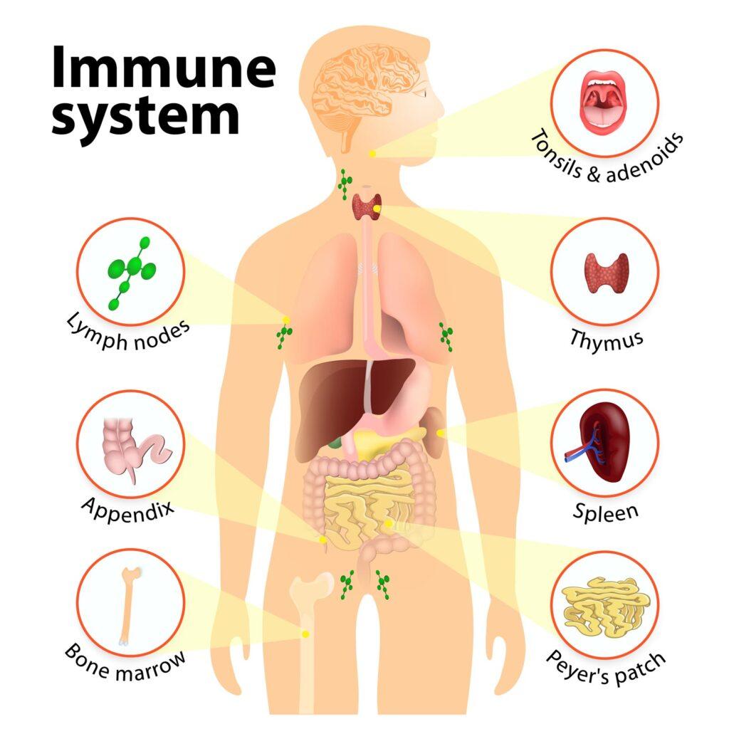 immune system and cannabidiol